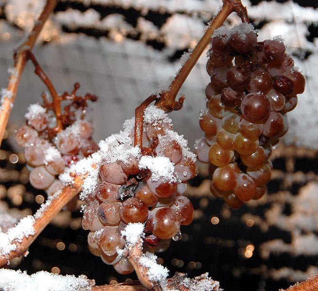 655px-Ice_wine_grapes