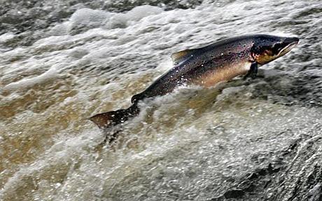 Salmon_river_1385734c